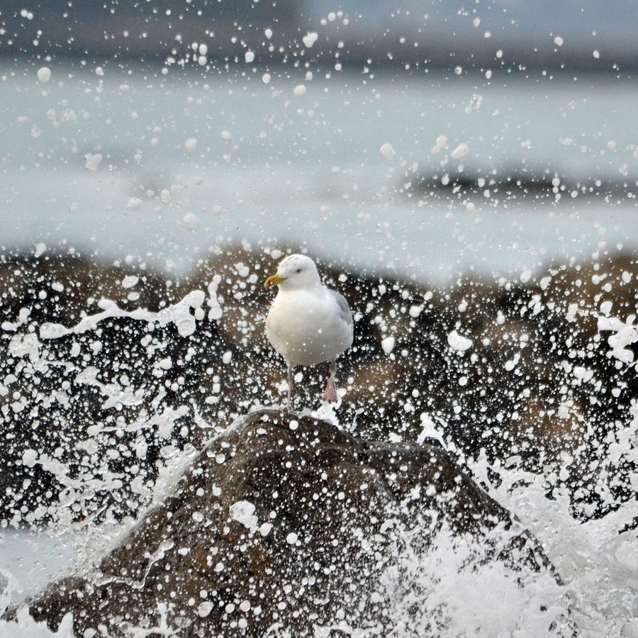 Seagull Spray