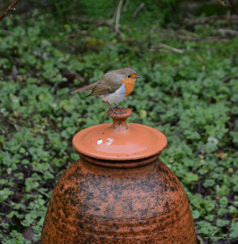 Robin on pot