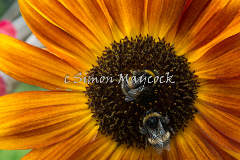 Close up of bees on Sunflower
