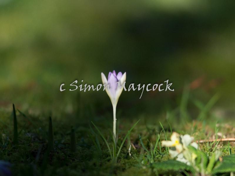 Naturalised Crocus flowers in Cornwall