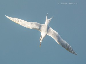 Sandwich Tern at Hayle