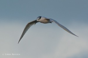 picture of sandwich tern at Hayle